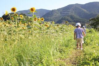 ひまわり,散歩,田舎,田んぼ,さんぽ,男の子