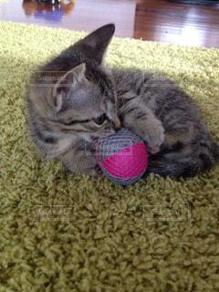 子猫のボール遊びの写真・画像素材[1292730]