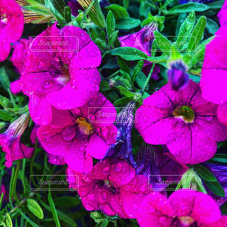 雨上がりの庭の花の写真・画像素材[2148149]