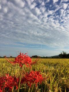 空,稲穂,景色,彼岸花,ヒガンバナ,秋空,実りの秋,いわし雲,鰯雲,イワシグモ
