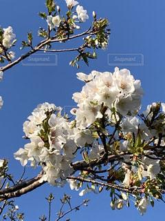 空,花,春,桜,木,屋外,青い空,花見,満開,樹木,お花見,イベント,草木,桜の花,さくら,ブルーム,ブロッサム