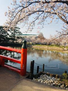 空,花,春,桜,木,屋外,湖,花見,満開,樹木,お花見,イベント,桜の花,さくら