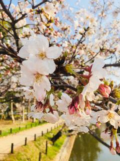 花,春,屋外,花見,満開,樹木,お花見,草木,桜の花,さくら,ブルーム,ブロッサム