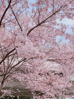 空,花,春,花見,桜並木,樹木,お花見,イベント,草木,桜の花,さくら,ブロッサム