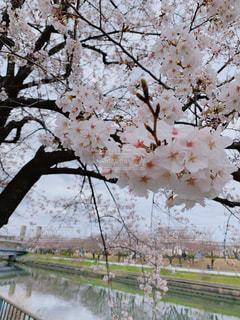 恋人,花,春,桜,屋外,鮮やか,樹木,お花見,草木,桜の花,さくら,ブルーム,ブロッサム