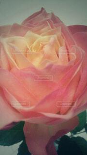 一輪の薔薇の写真・画像素材[4360539]