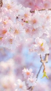 桜,ピンク,ピンク色,桃色,pink,葛西臨海公園