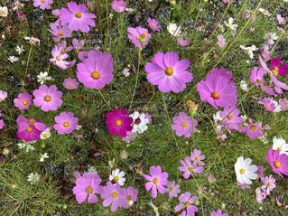 ピンクの花のグループの写真・画像素材[1483358]