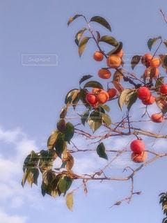秋,柿,秋空,実り,実りの秋,たわわ,秋の味