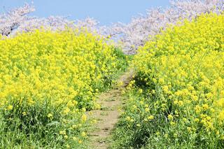 菜の花の道の写真・画像素材[4327085]