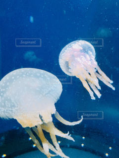 クラゲの写真・画像素材[1314206]