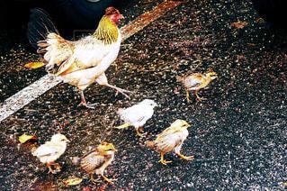 鳥の親子の写真・画像素材[1318583]