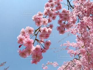 春,桜,ピンク,綺麗,青空,もふもふ,フォトジェニック