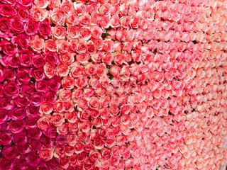 バラのかべの写真・画像素材[1446358]