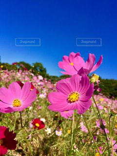 秋,ピンク,コスモス,晴れ,晴天,季節,鮮やか,秋桜