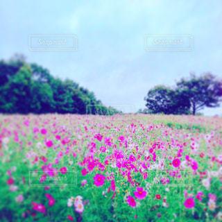 コスモス畑の写真・画像素材[1454575]