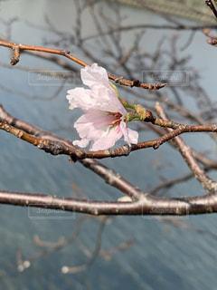 こんな時期に咲くなんて(°▽°)の写真・画像素材[1567504]