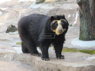 岩の上に大きな黒い熊立っての写真・画像素材[1377188]