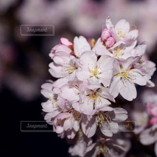 自然,花,桜,ピンク,植物,白,夜桜,満開,樹木,草木,ブロッサム