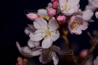 自然,花,桜,植物,夜桜,花びら,樹木,草木,ブロッサム