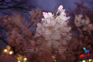 自然,花,桜,植物,夜桜,満開,草木,後幕シンクロ
