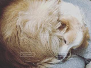 動物,ソファ,眠り,ボーダーコリー,中型犬,安らぎ,ミルクティー色