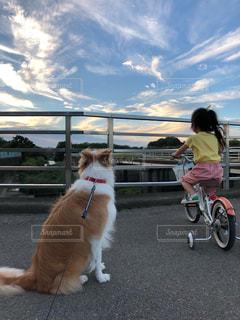 犬,動物,屋外,夕方,女の子,お散歩,ボーダーコリー,夕空,中型犬,犬と子供