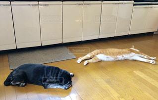 ぐでぐで,猛暑,黒パグ,夏バテ,熱中症,猛暑日,茶白猫,溶けてる,酷暑