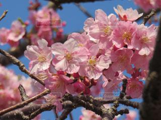 河津桜祭りの写真・画像素材[1856610]