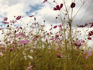 花,秋,植物,コスモス,秋の空
