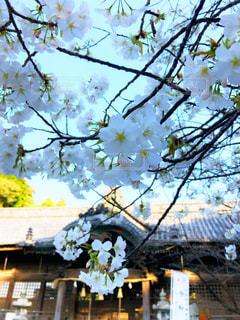 風景,花,春,屋外,神社,満開,樹木,桜の花,さくら
