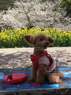 犬,春,桜,動物,京都,菜の花,お花見,疎水