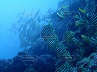 水中の魚群の写真・画像素材[1312735]