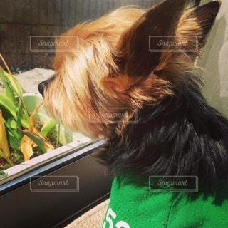 犬の写真・画像素材[40560]