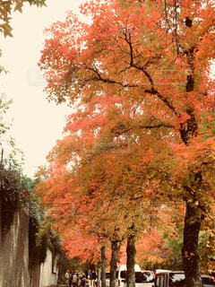 木にピンクの花のグループの写真・画像素材[1646759]