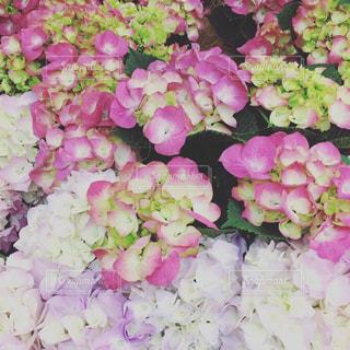 先取り紫陽花の写真・画像素材[1986706]