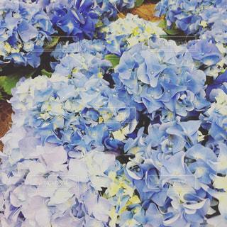 ブルーの花の写真・画像素材[2056710]