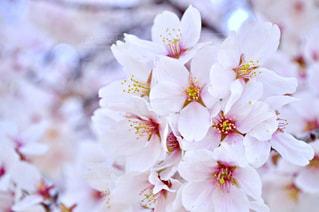 桜,ピンク,サクラ,桃色,pink,粟津公園の桜