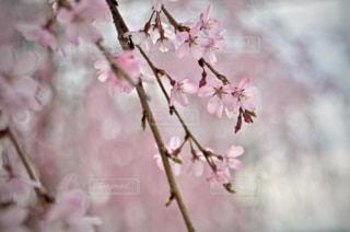 花,桜,ピンク,サクラ,flower,桃色,pink,粟津公園の桜