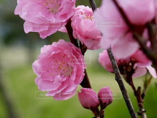 花,ピンク,flower,桃,桃の花,桃色,pink,PEACH,木場潟公園の桃