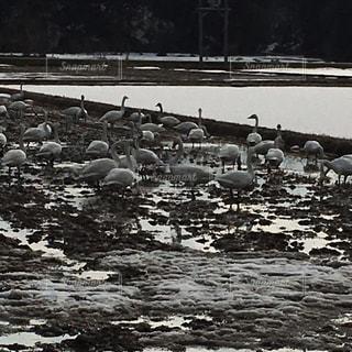 田んぼの中の白鳥の群れの写真・画像素材[1433498]