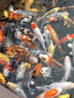 錦鯉たちの、餌争奪合戦の写真・画像素材[1559137]