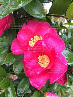 雨に濡れた、鮮やかなピンク色の椿の写真・画像素材[1793268]