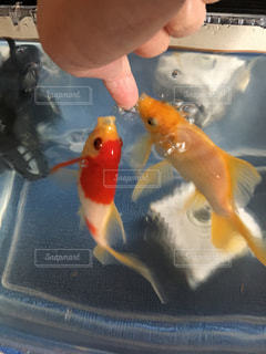 金魚のいる生活の写真・画像素材[1853516]