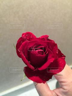 情熱の赤いバラの写真・画像素材[1953019]