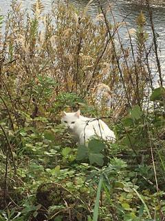 猫,散歩,川辺,野良猫,草むら