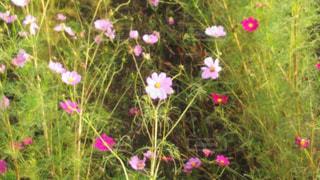 花,ピンク,コスモス