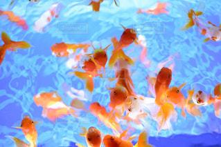 群れる金魚たちの写真・画像素材[1336994]