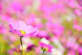 花,ピンク,コスモス,秋桜