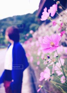 女性,自然,風景,秋,コスモス,草木,レジャー・趣味